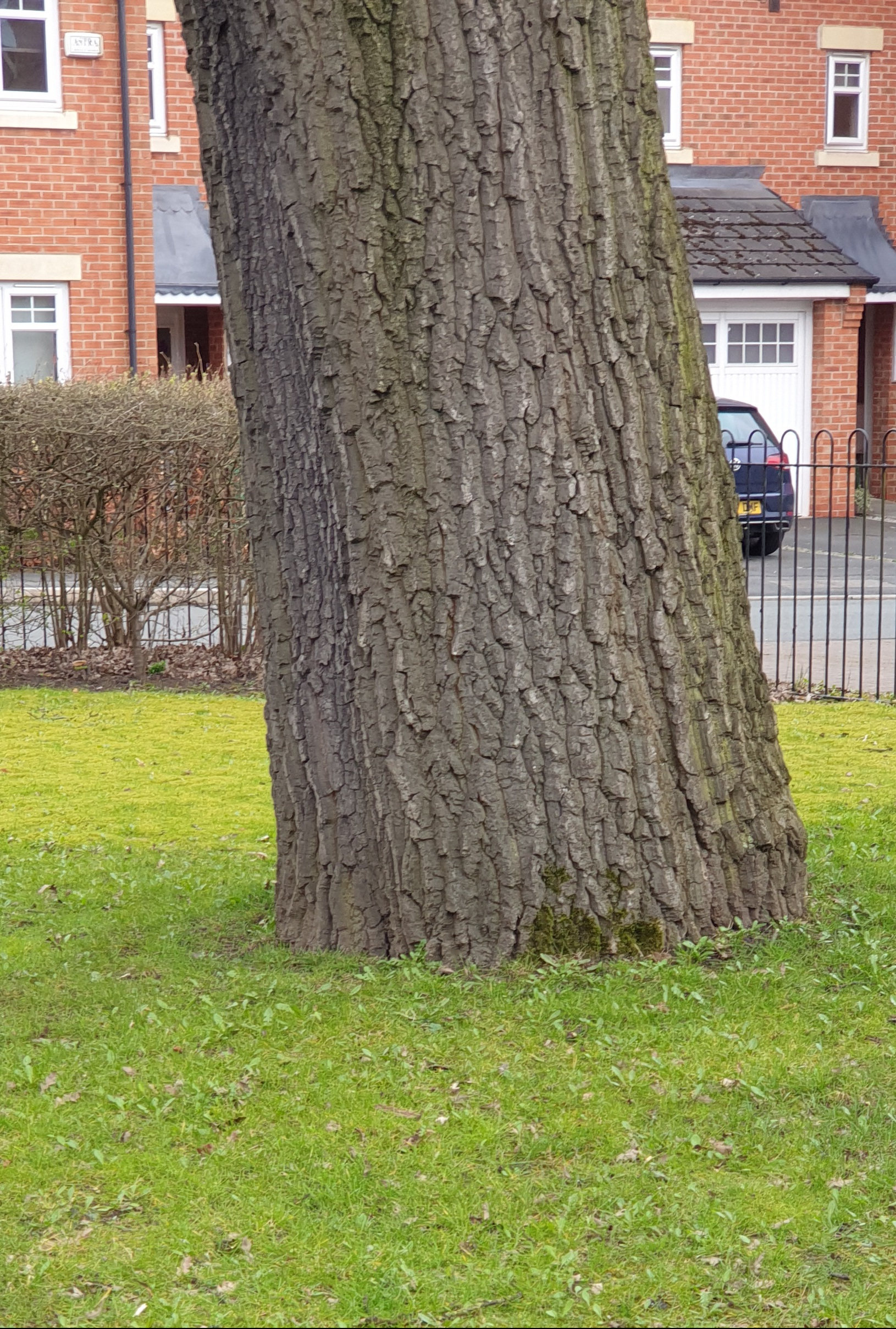 Mature oak tree, with a wide girth